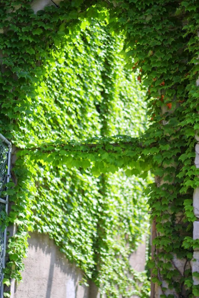 ivy wall 3