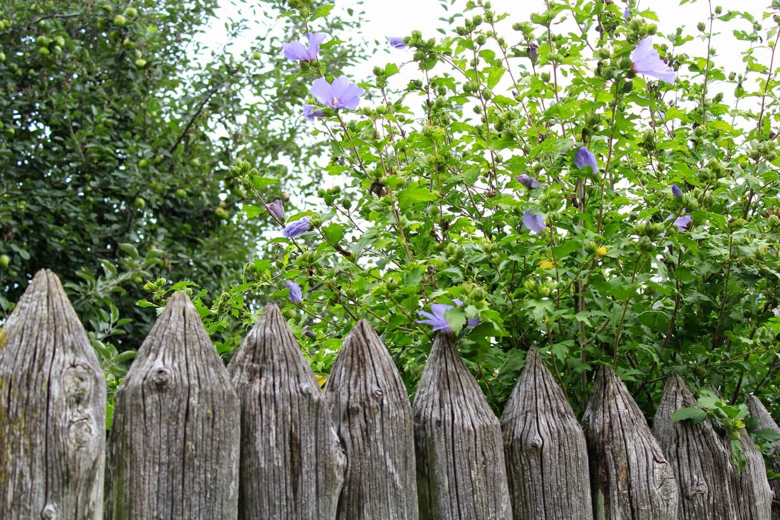 wooden fence with blue flowers