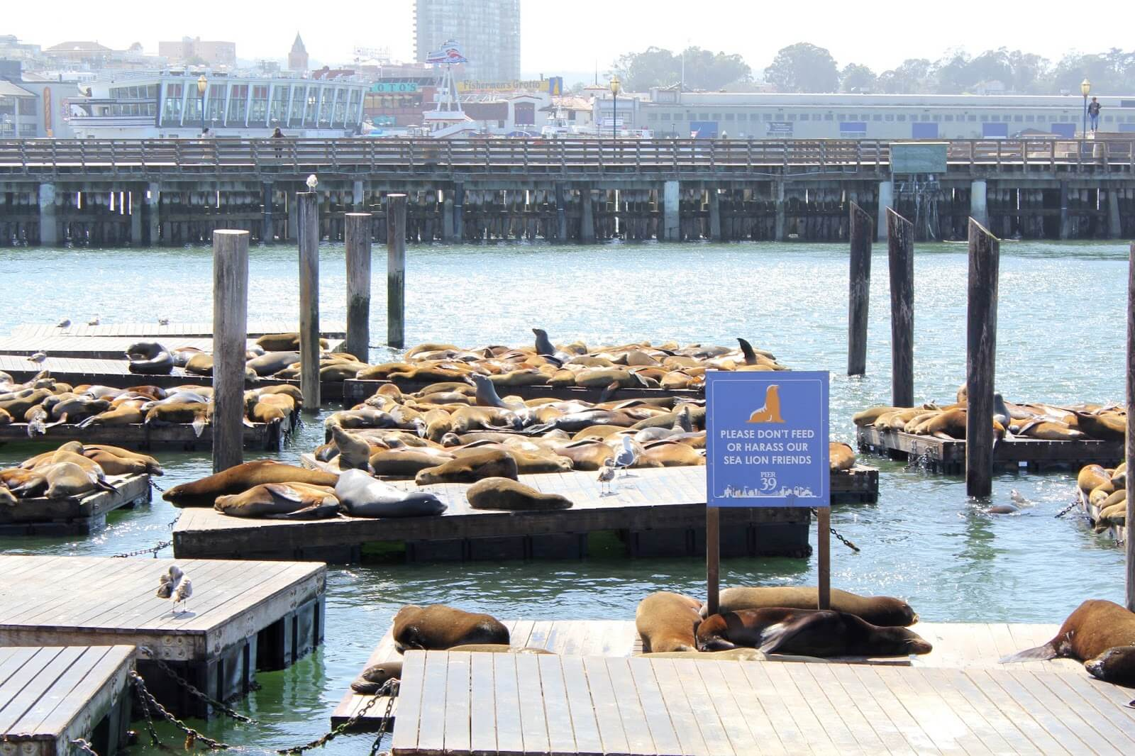 fishermans wharf peir 39 sea lions