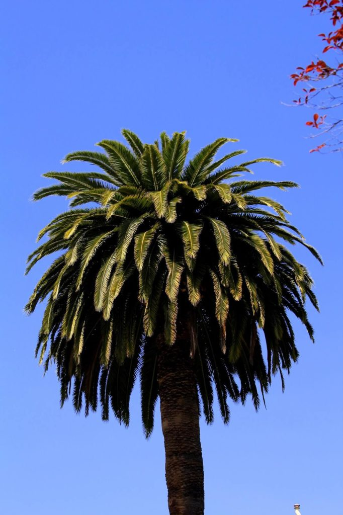san fransico palm tree