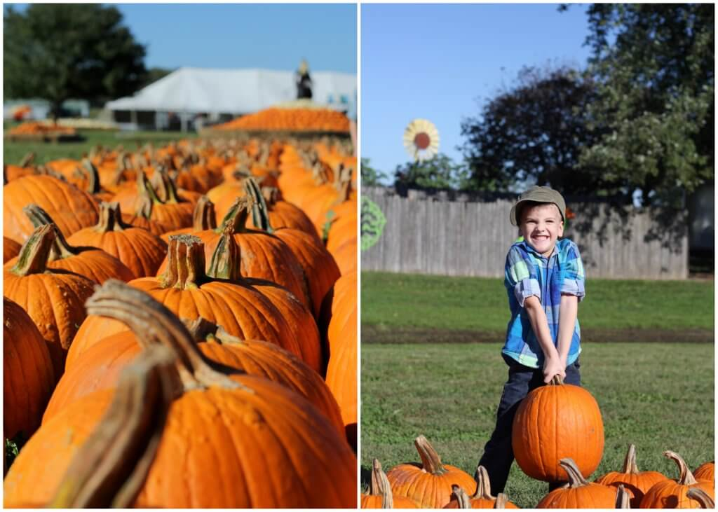 pumpkins in a row and little boy trying to hold a heavy pumpkin